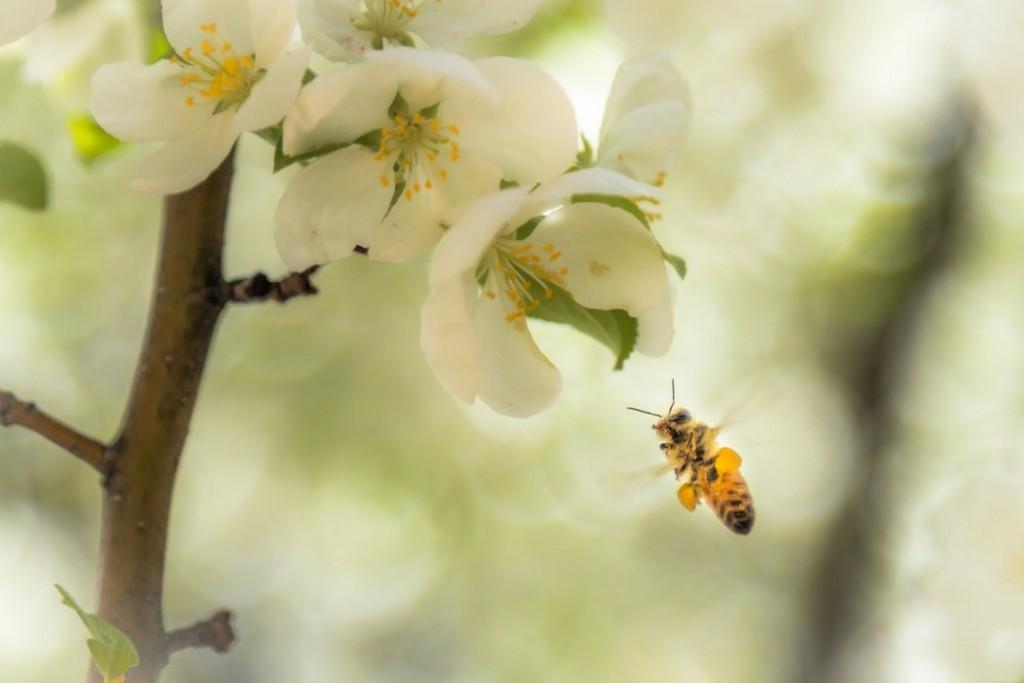 蜜蜂在已開發國家中面臨尤其嚴重的滅絕(圖片來源:Unsplash)