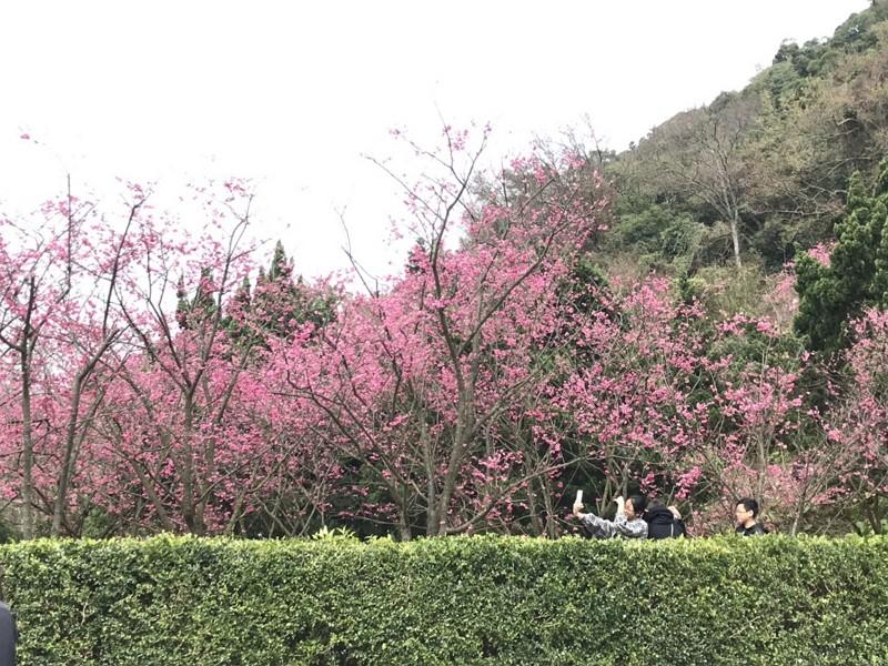 2019陽明山花季(圖/中央社)