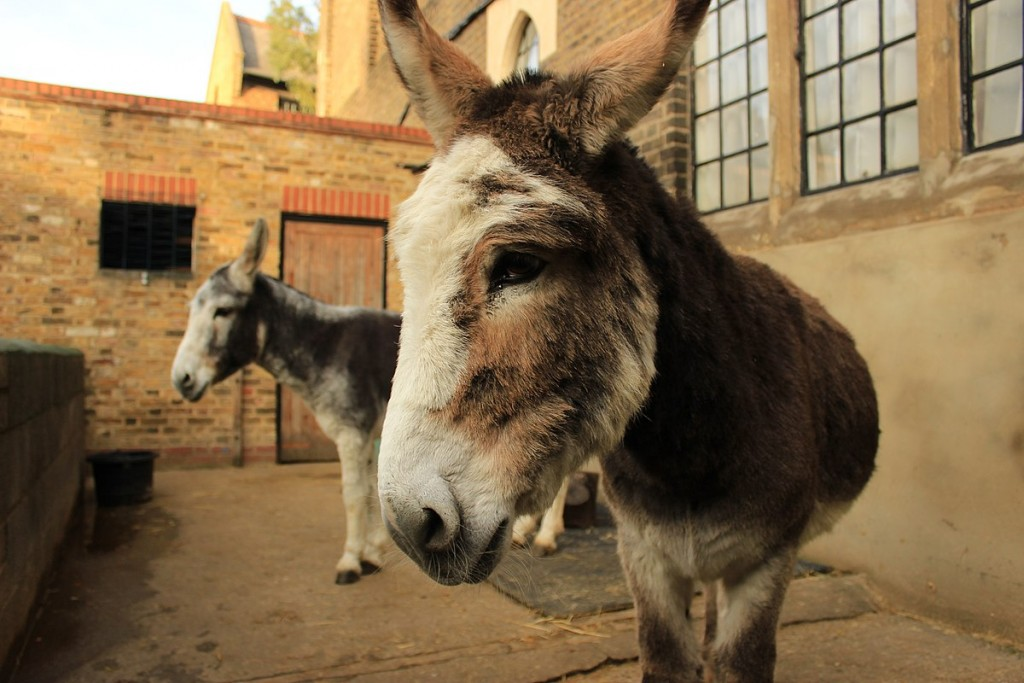 As China's appetite grows, Brazil worries over future of donkey population