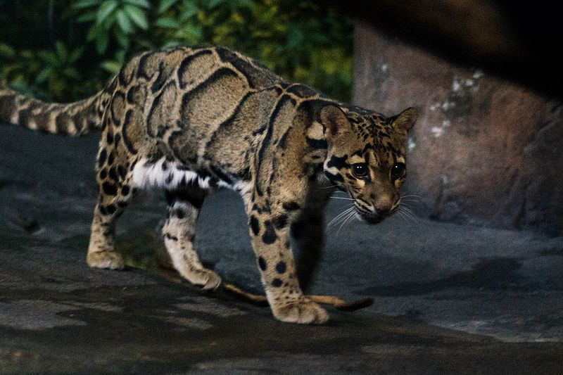 Stock image of a clouded leopard.