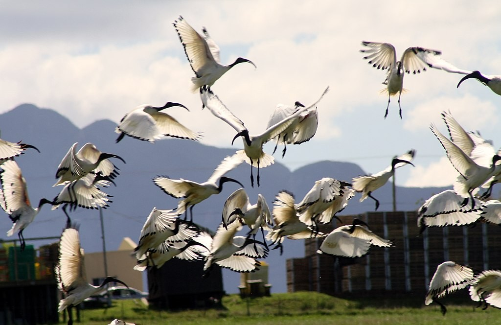 African sacred ibises in South Africa (photo by Bob Adams)