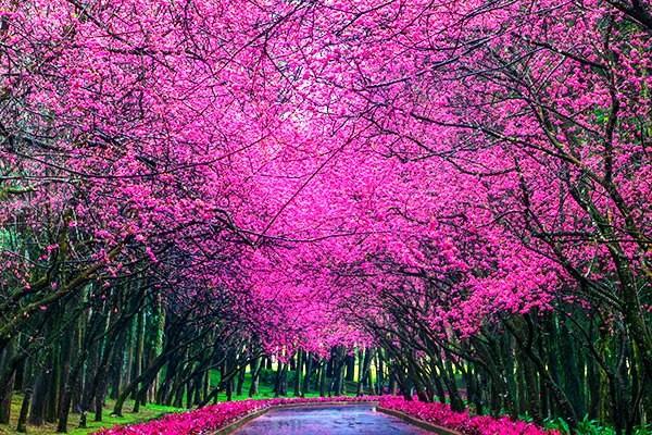 Cherry blossoms in Nantou, Taiwan.