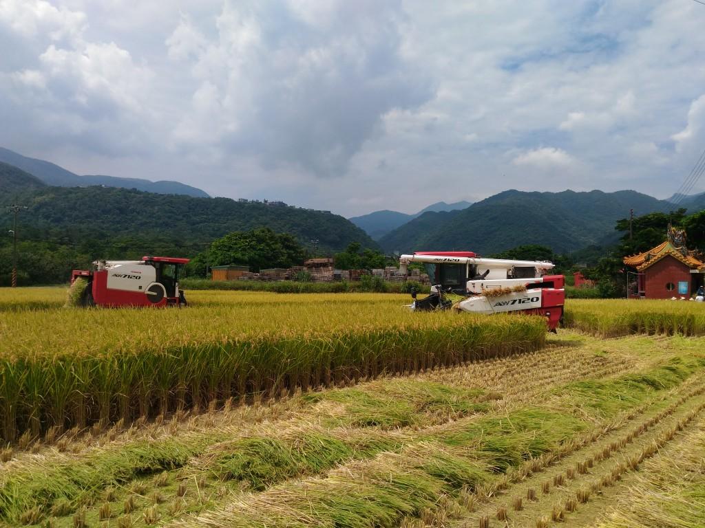 萬金友善稻作收割 (新北市政府農業局提供)