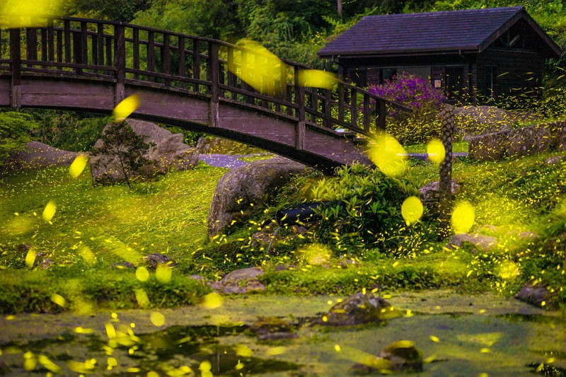 Fireflies in Yuantan Natural Ecological Park  (Photo by 郭芳谷_CNA)