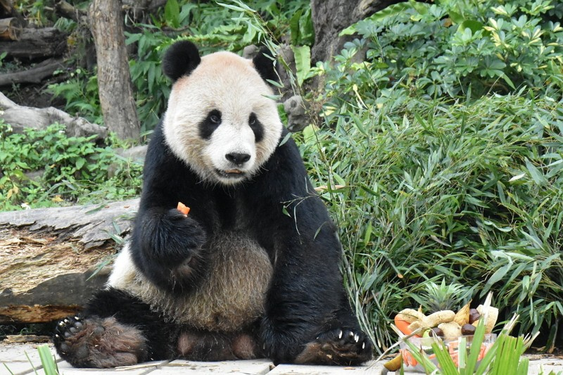 A panda at Taipei Zoo (Photo/Taipei Zoo)