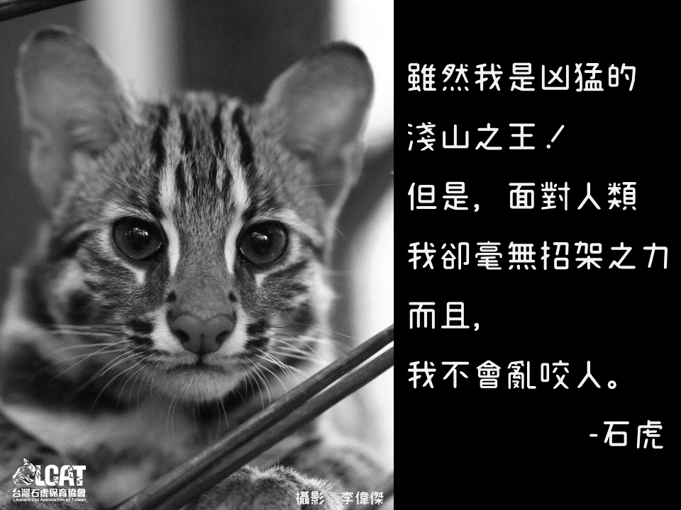 (Photo from Leopard Cat Association of Taiwan)