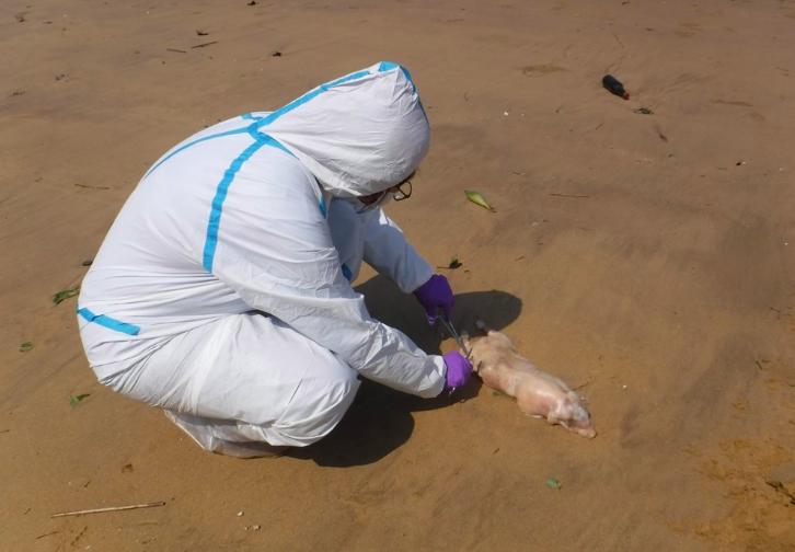 金門縣烈嶼鄉西南邊岸際發現1頭漂流上岸死豬,驗出非洲豬瘟(圖防檢局提供)