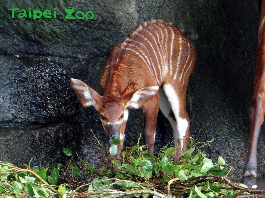 斑哥羚羊。(照片由台北市立動物園提供)
