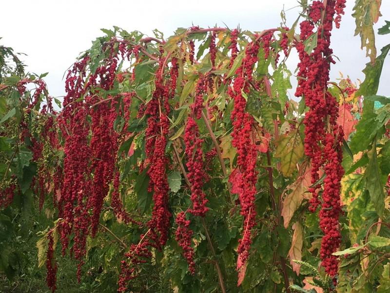 台灣藜台東1號為市場主流之紅色果穗(圖/台東農業改良場)