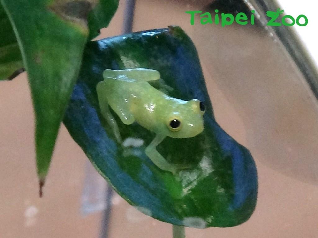 「玻璃蛙」 (Hyalinobatrachium fleischmanni)。(圖片由台北市立動物園提供)