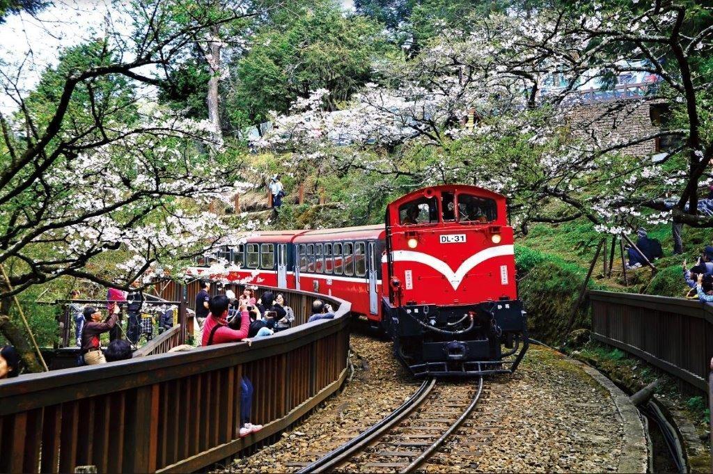 阿里山火車櫻花季。(陳坤志攝 / 照片由林務局提供。)