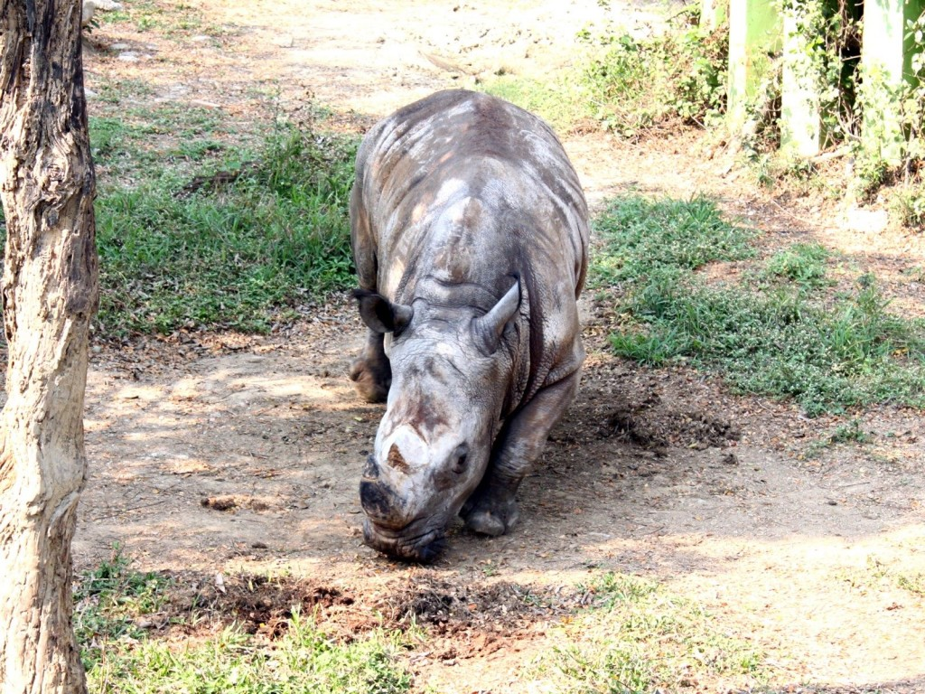 雄性白犀牛「犀奇」。(照片由台北市立動物園提供)