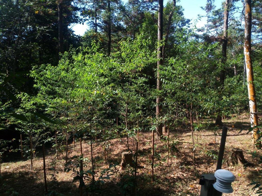 山胡椒在林下開闊區生長照片。(照片由林業試驗所提供)