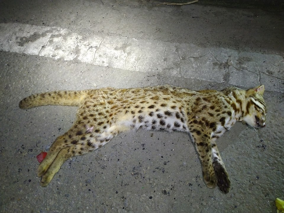 Deceased leopard cat. (Photo from Facebook group 貓徑地圖王小明)