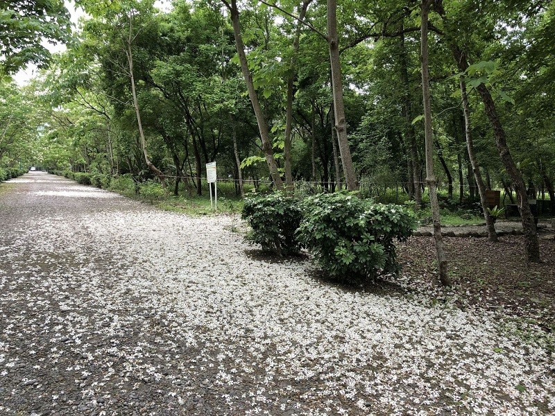 Tung flowers in the Nanhua Forest Park. (Forestry Bureau photo)