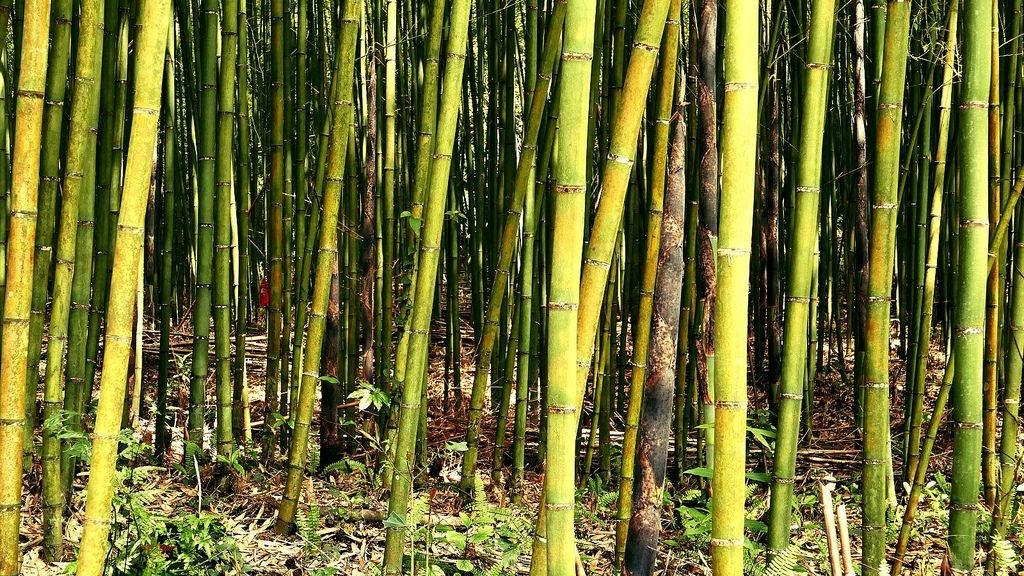 桂竹筍生長的地方。(照片由農糧署提供)
