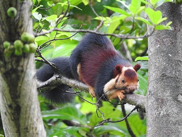 By Amara Bharathy - Own work, India - Malabar Giant Squirrel in Athir