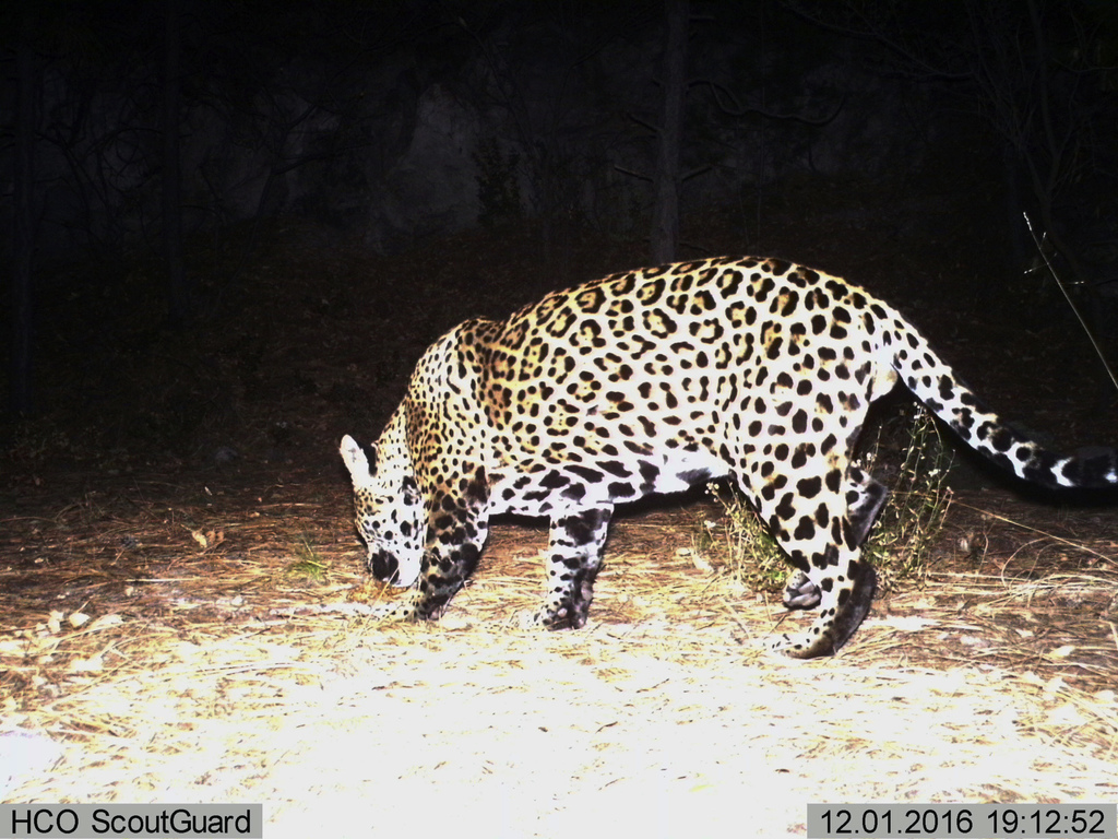 FILE - This Dec. 1, 2016 file still image from video provided by Fort Huachuca shows a wild jaguar in southern Arizona. A team of wildl...