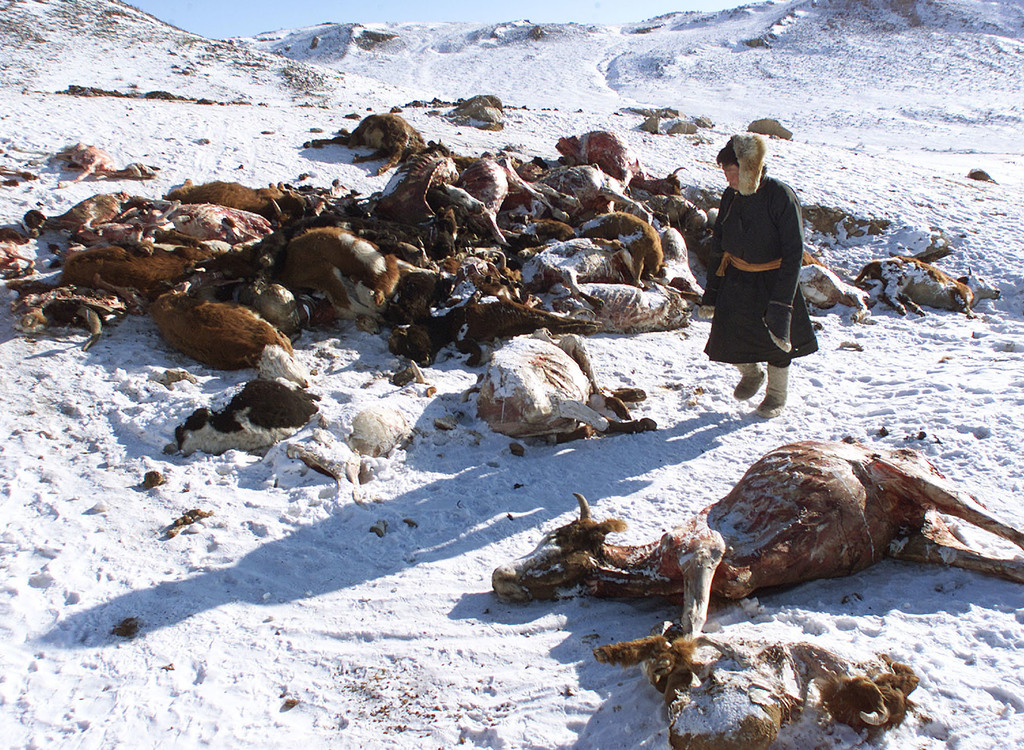 In this file photo taken February 7, 2001, a herder walks past a pile of dead animals in the hills of Hentii province after a severe sn...