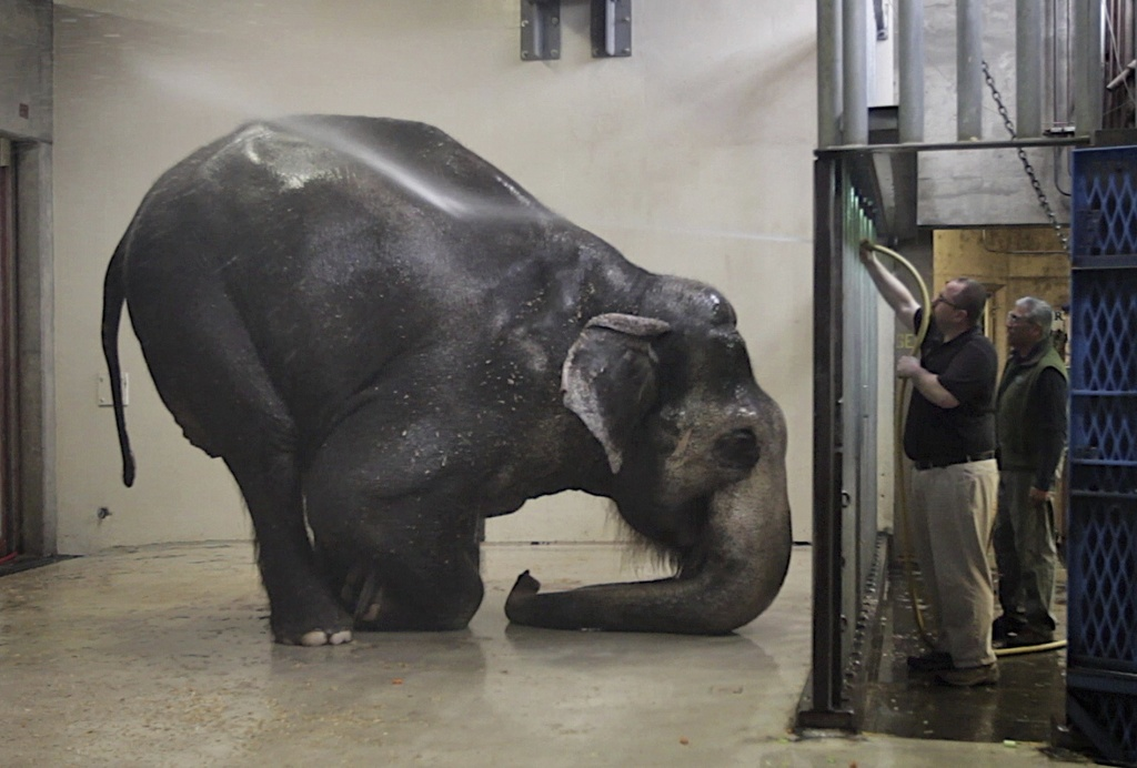 FILE -In this March 27, 2012 file photo, Packy, an Asian elephant, is sprayed with water at the Oregon Zoo, in Portland. Packy at 54 is...