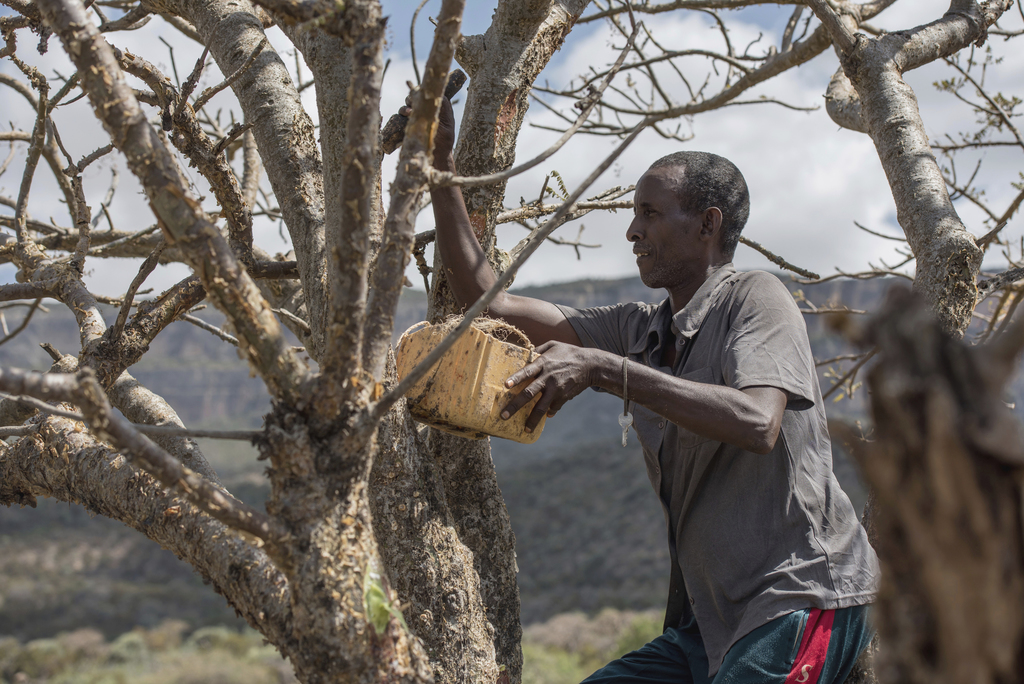 In this Thursday Aug. 4, 2016, photo, Mohamed Ahmed Ali wounds a frankincense tree near Mader Moge, Somaliland, a breakaway region of S...