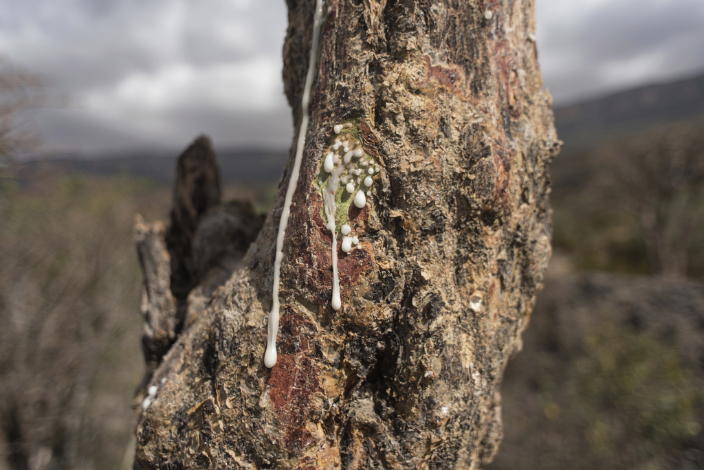 In this Thursday, Aug. 4, 2016 photo, sap runs out of a frankincense tree near Mader Moge, Somaliland, a breakaway region of Somalia. T...