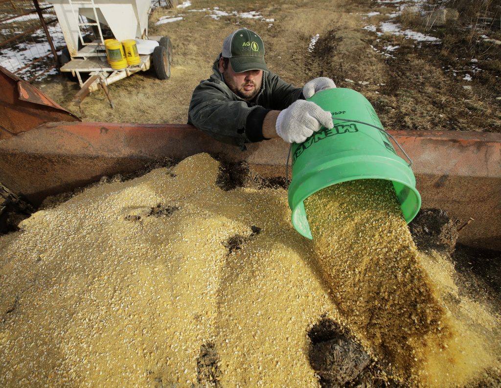 In this photo taken Wednesday, Dec. 21, 2016, Matt Ubell adds grain to feed as she prepares to feed cattle on his farm near Wheaton, Ka...