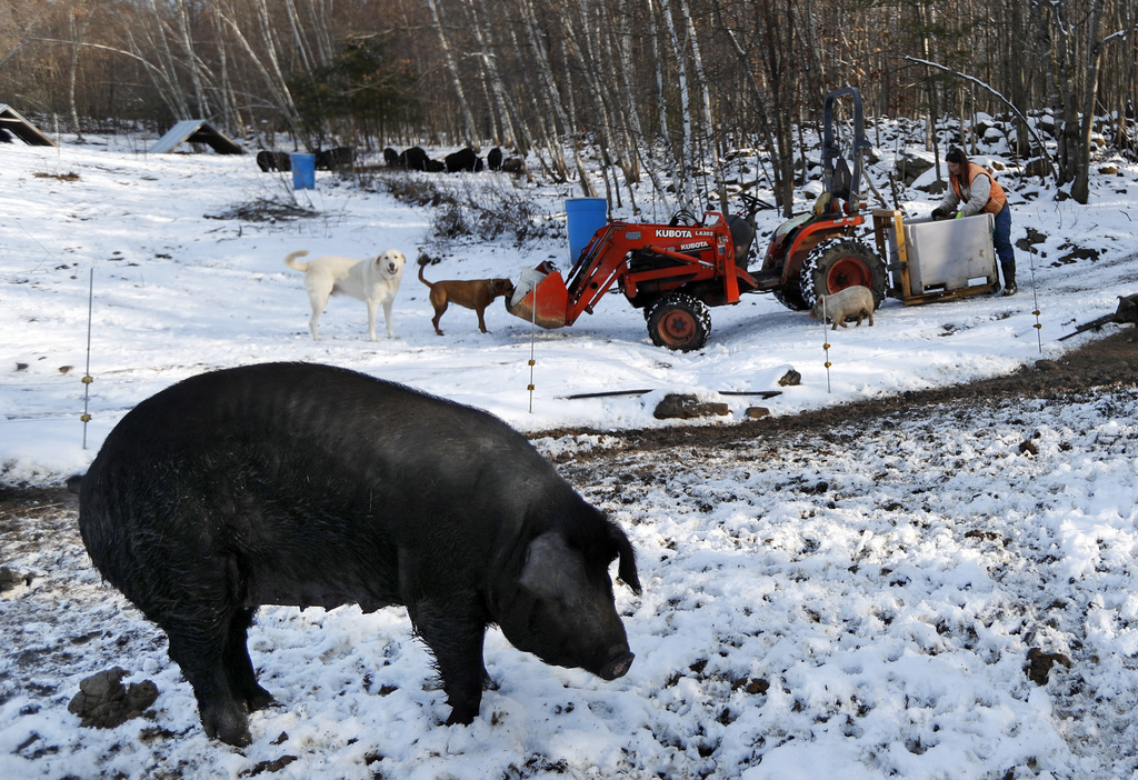 In this Thursday, Dec. 8, 2016, photo Susan Frank prepares to feed her mulefoot pigs at Dogpatch Farm in Washington, Maine. The rare br...
