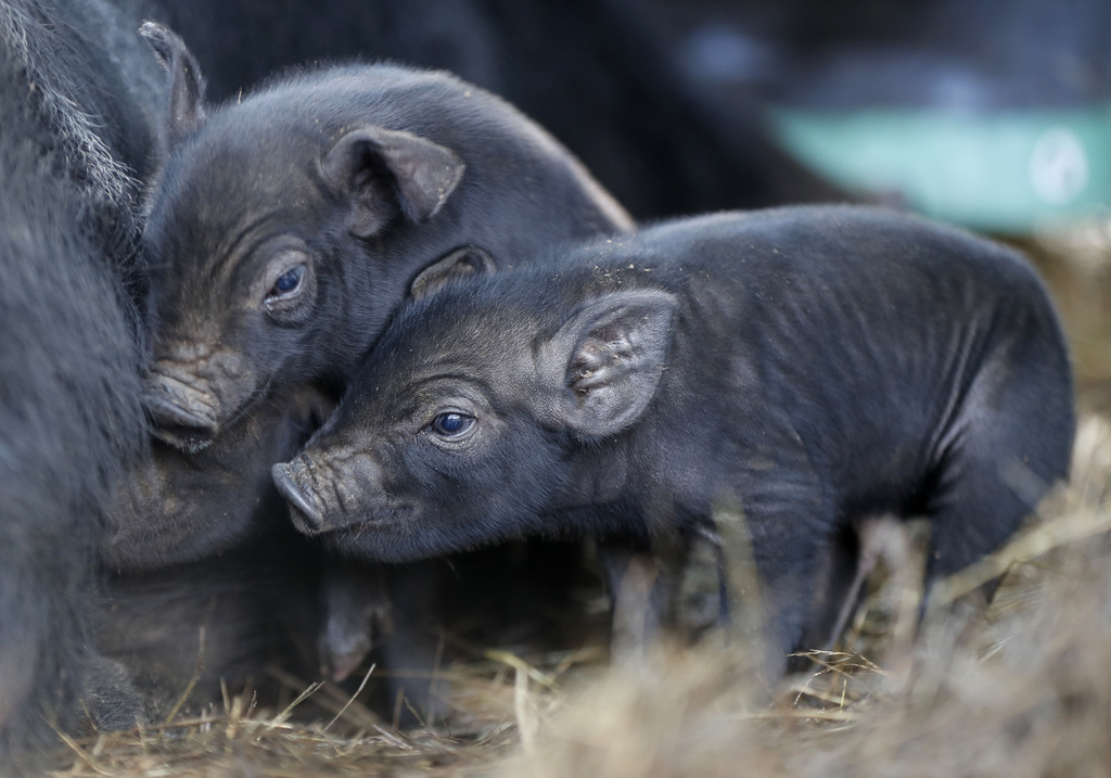 In this Thursday, Dec. 8, 2016, three-day-old mulefoot piglets nuzzle their mother at Dogpatch Farm in Washington, Maine. The American ...