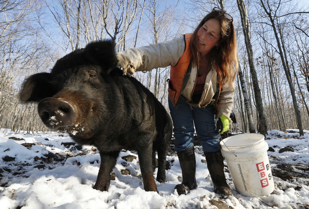 In this Thursday, Dec. 8, 2016, photo Susan Frank pets one of her mulefoot pigs at Dogpatch Farm in Washington, Maine. The American mul...