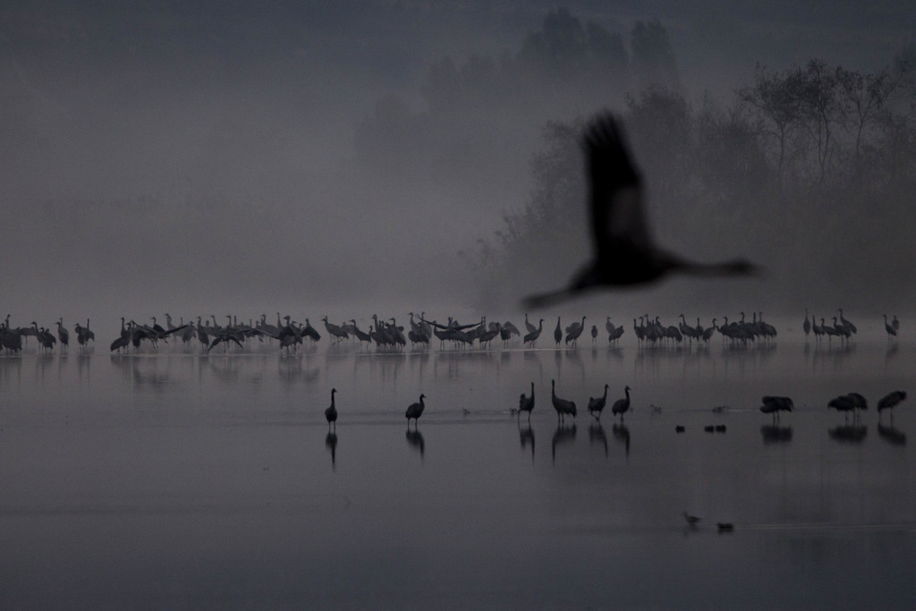 FILE - Migrating Cranes flock to the Hula Lake conservation area, north of the Sea of Galilee, northern Israel, Wednesday, Dec. 7, 2016...