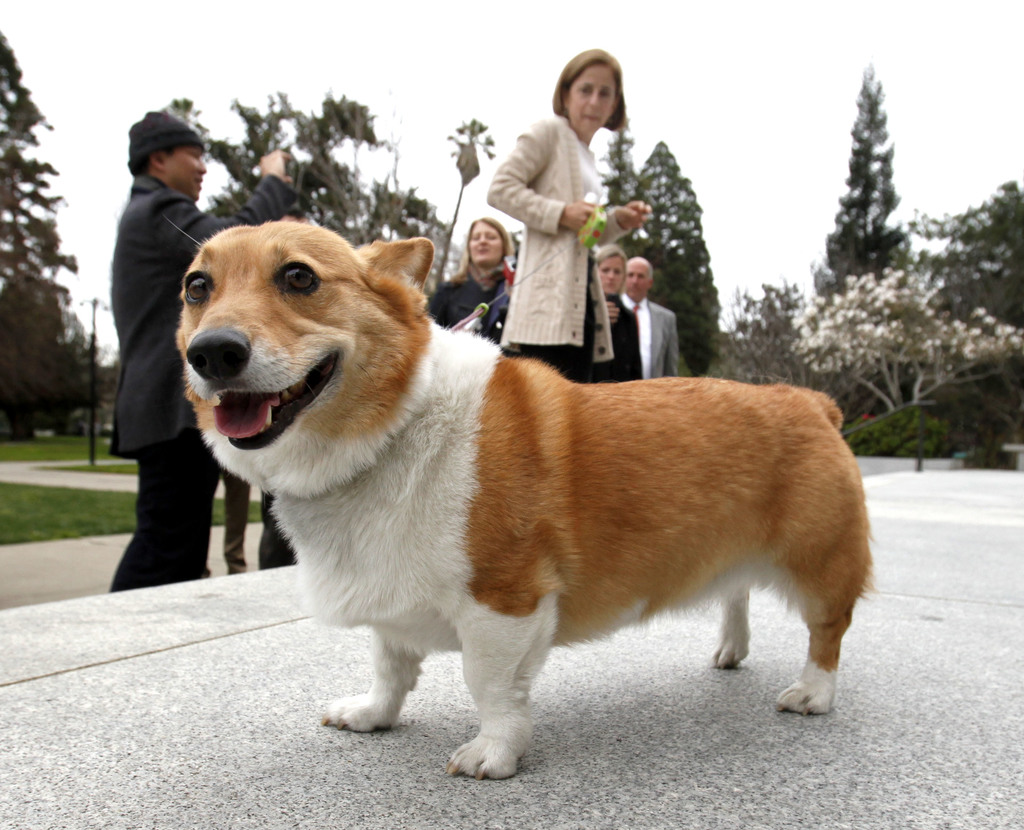 FILE - In this Feb. 15, 2011 file photo, Sutter the dog walks around the east steps of the Capitol as California first lady Anne Gust B...