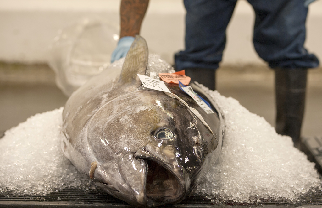 FILE - In this June 18, 2015 file photo, an ahi tuna sits packed in ice waiting to be auctioned at the United Fishing Agency in Honolul...