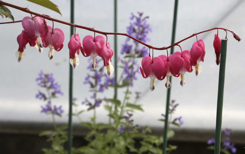 """In this Wednesday, March 1, 2017, photo, catmint """"Junior Walker"""" grows behind a bleeding heart plant in a greenhouse growing plants for..."""