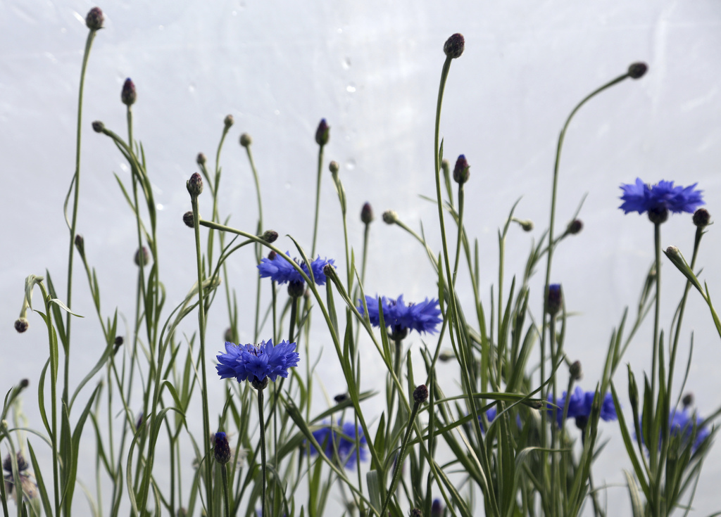 In this Wednesday, March 1, 2017, photo, cornflowers bloom in a greenhouse growing plants for the Philadelphia Flower Show, at Meadowbr...