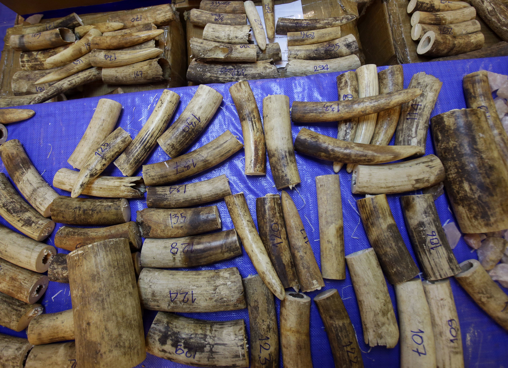 Seized elephant tusks are displayed by the Thai Customs Department during a press conference at Customs Suvarnabhumi airport in Bangkok...