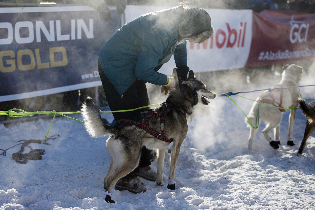 Handlers from each musher's kennel, as well as volunteer handlers working for the Iditarod Trail Committee, prepared dog teams for thei...