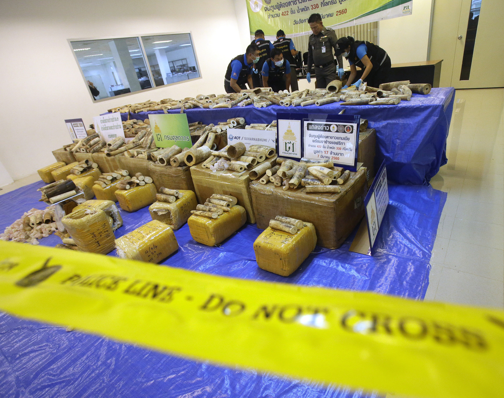 Thai police forensic officers collect DNA sample of ivory after a press conference at Customs Suvarnabhumi airport in Bangkok, Thailand...