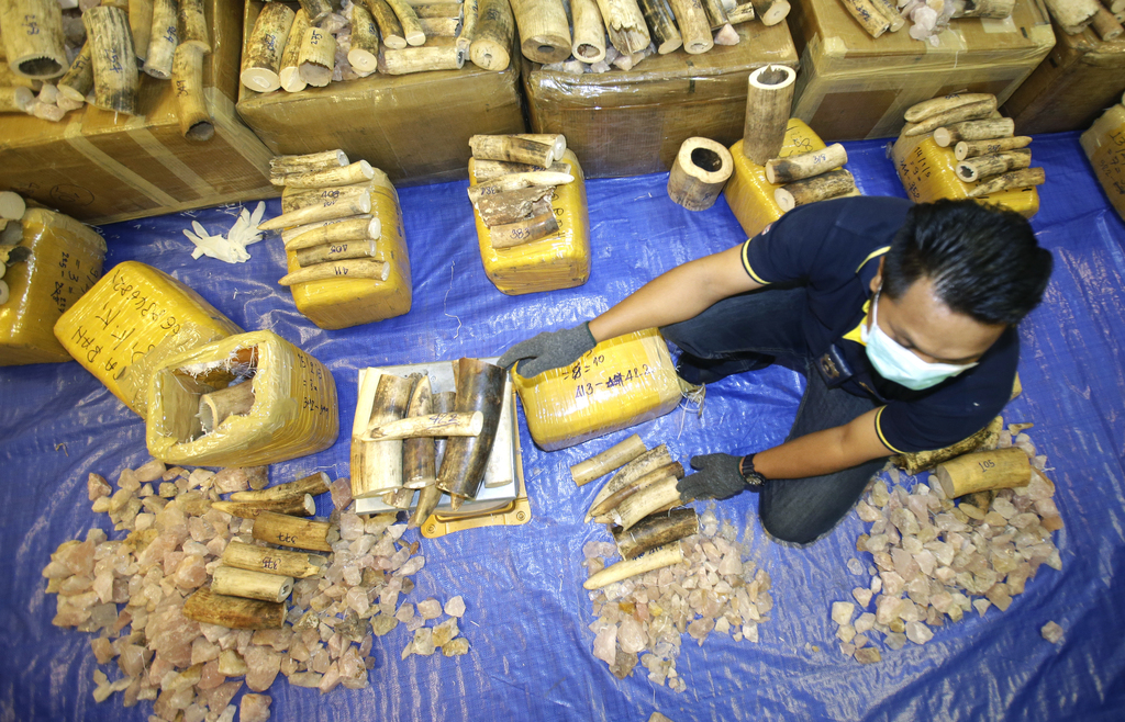 Thai customs officials measure seized elephant tusks by weight during a press conference at Customs Suvarnabhumi airport in Bangkok, Th...