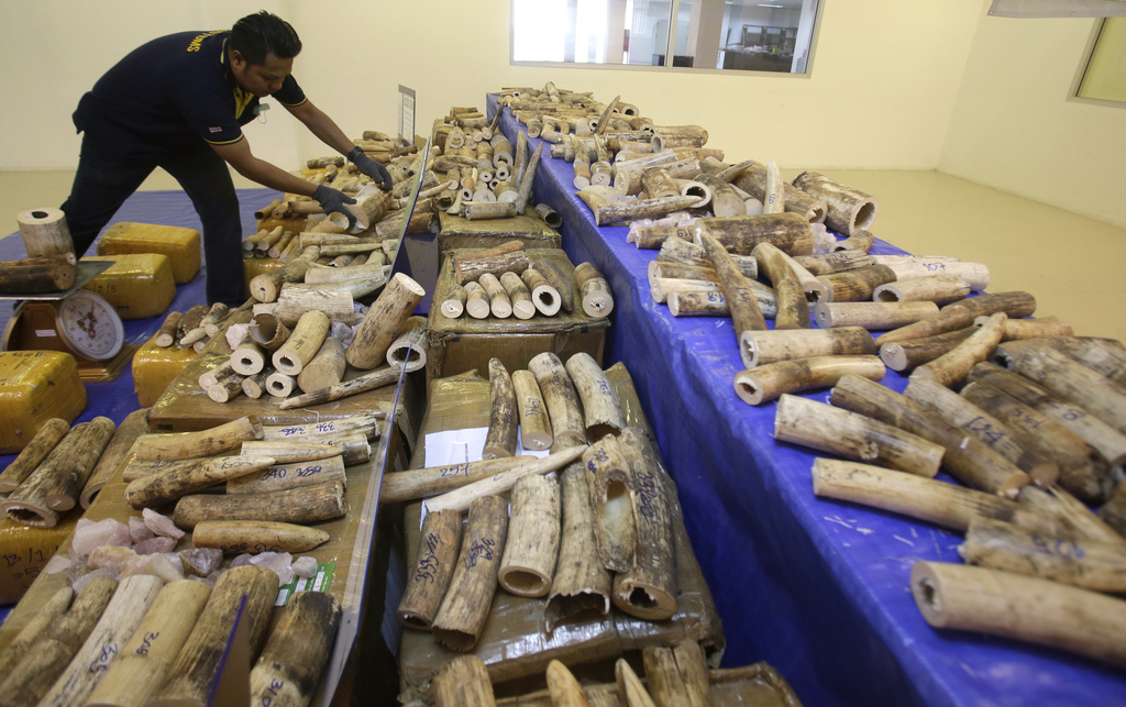 Thai customs officials display seized ivory during a press conference at Customs Suvarnabhumi airport in Bangkok, Thailand, Tuesday, Ma...