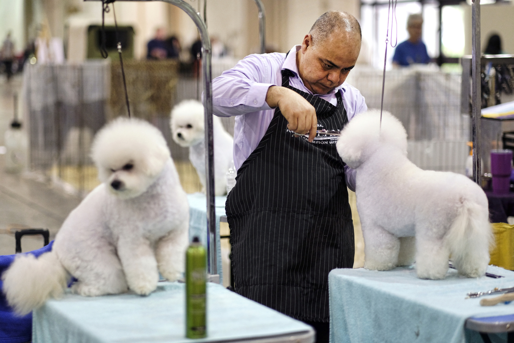 This Saturday, March 4, 2017 photo shows Wilson Ramirez, from Santa Ana, Calif., grooming a Bichon Frise prior to competing at the Annu...