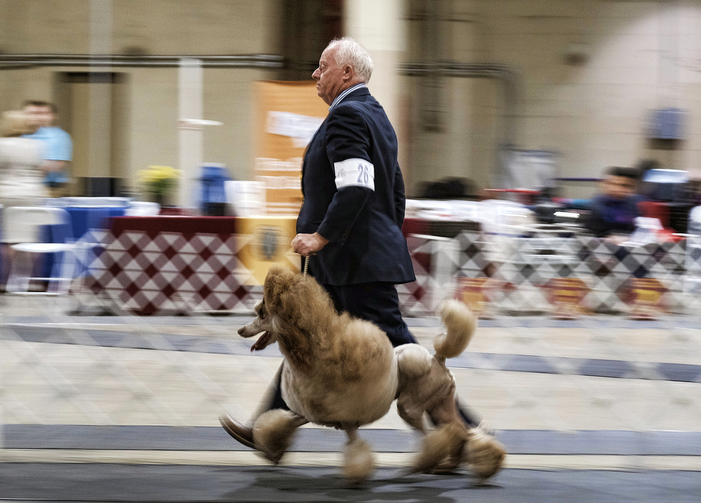 In this Saturday, March 4, 2017 photo, a Poodle competes in the Annual Kennel Club of Beverly Hills Dog Show in at the Pomona Fairplex ...
