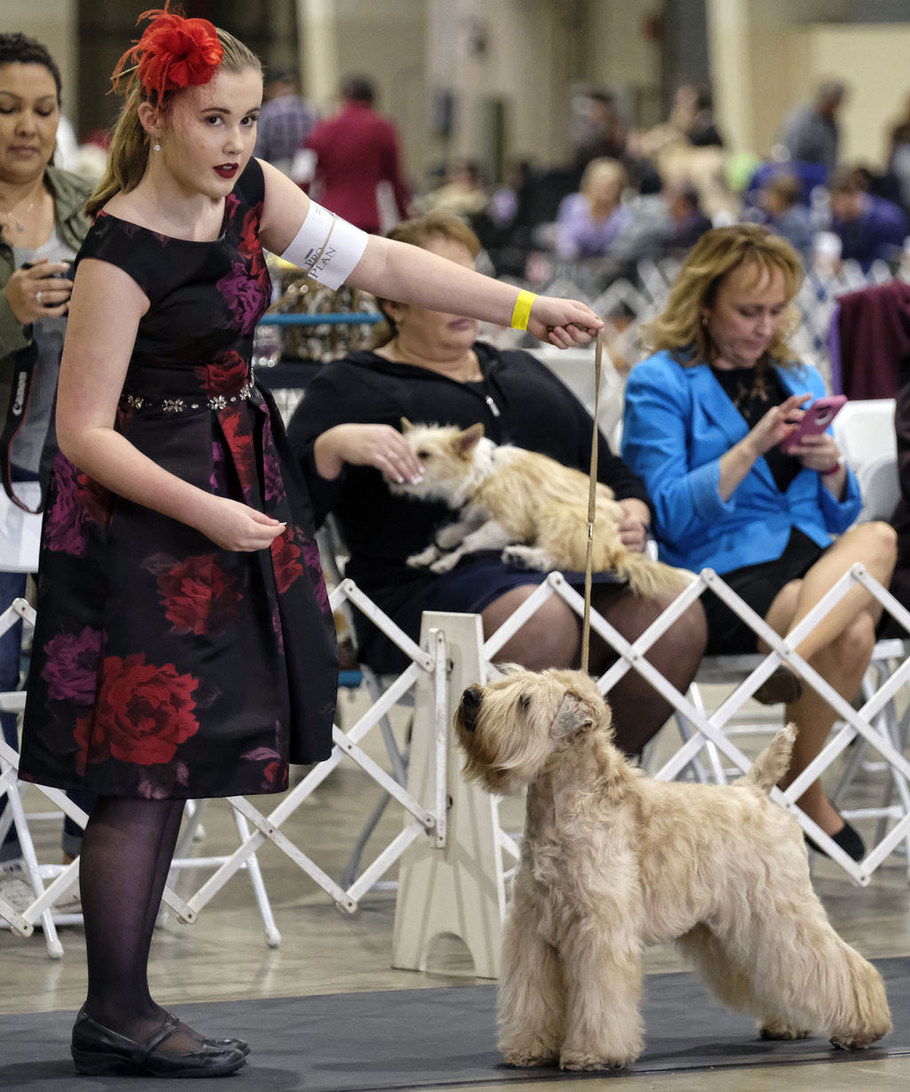 This Saturday, March 4, 2017 photo shows Riley Capton with her 4 year old Wheaten Terrier, Florence, competing at the Annual Kennel Clu...
