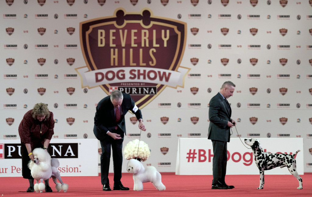This Saturday, March 4, 2017 photo shows dogs competing in the Annual Kennel Club of Beverly Hills Dog Show at Pomona Fairplex in Pomon...