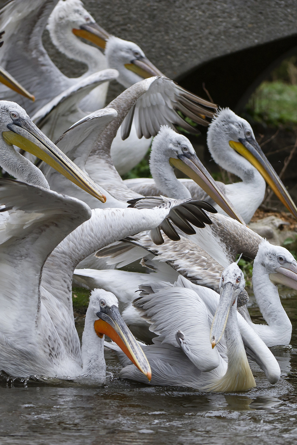 In this undated photo provided by the Schoenbrunn Zoo a flock of pelicans is pictured at the zoo in Vienna, Austria. The zoo has euthan...