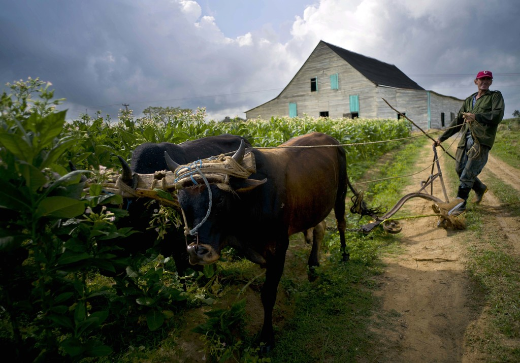 In this Feb. 28, 2017 photo, farm hand Jorge Luis Leon Becerra uses a plow powered by oxen over an area where tobacco plants were recen...