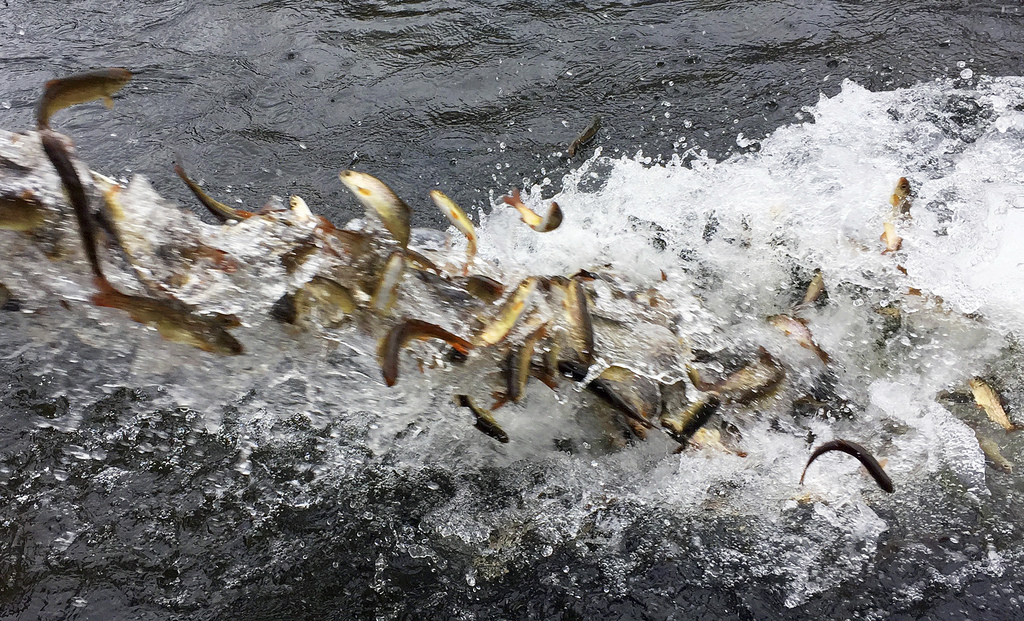In this Thursday, March 9, 2017 photo, hundreds of juvenile coho salmon are released into the Lostine River from a water tanker truck. ...