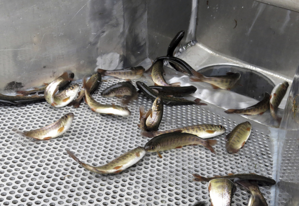 In thisWednesday, March 8, 2017 photo, juvenile coho salmon flop down a chute and into a water tanker truck at the Cascade Fish Hatcher...