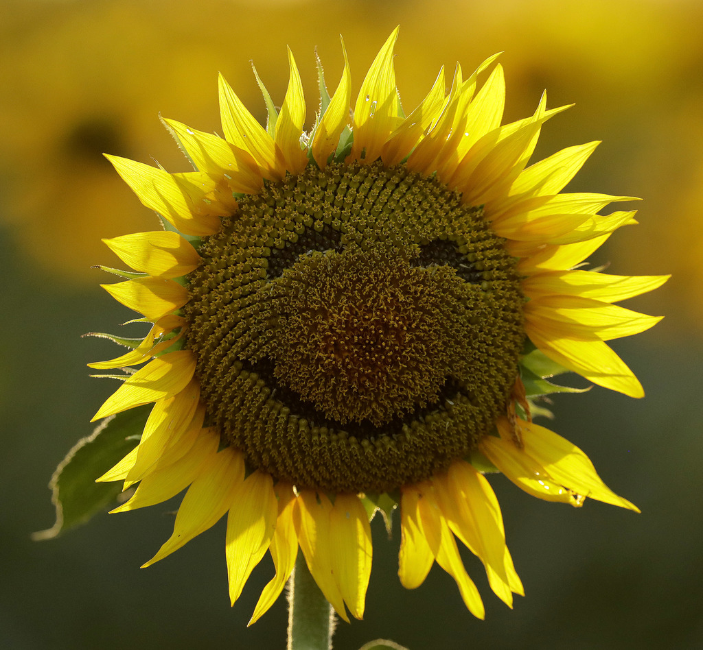 FILE - In this Sept. 7, 2016 file photo, a smiley face is seen on a sunflower in a sunflower field in Lawrence, Kan. Over the past deca...