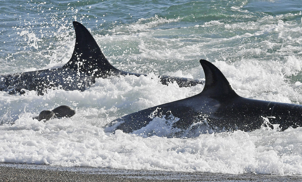 In this March 24, 2017 photo, killer whales prey on a young sea lions, left, in Punta Norte, Argentina. While rarely caught on camera, ...